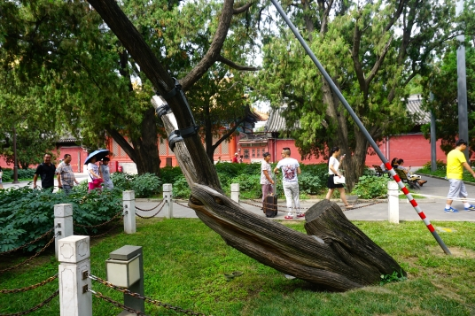 Famous 'Deer Tree' outside Forbidden City